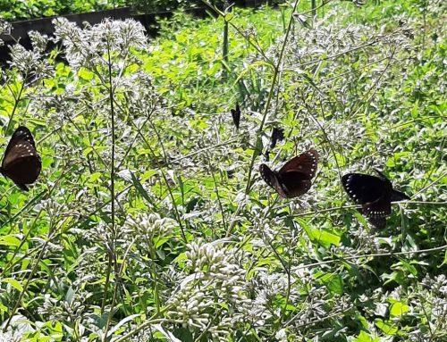 【為一分地的改變做紀錄:109年7月12日】紫斑蝶到訪生機互動農場